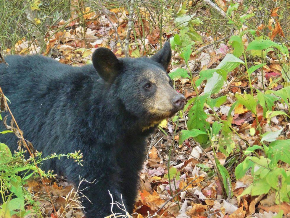 black bear pine mountain harlan kentucky