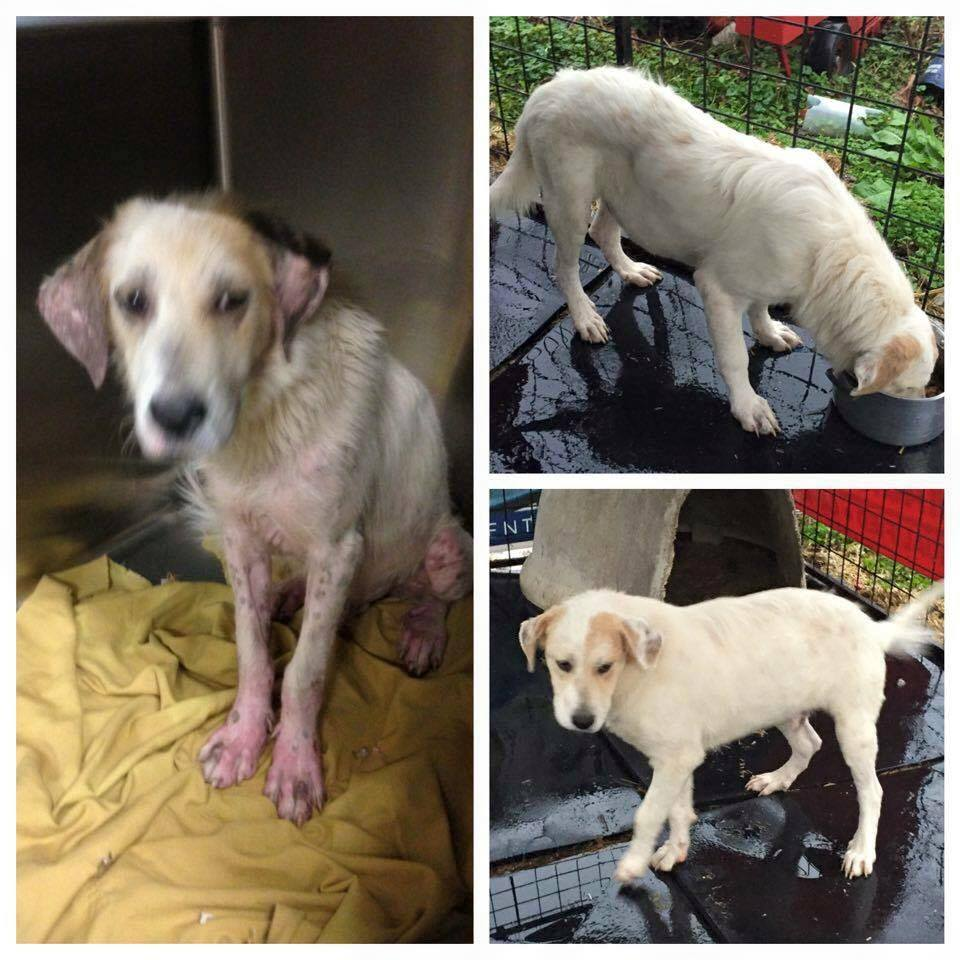 Before and after photos of a Dumas Rescue dog who received treatment at beaver creek veterinary hospital in floyd county, kentucky.